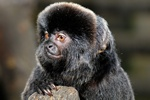 Goeldis Marmoset, Goeldis Monkey (Callimico goeldii)